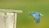 Eastern Bluebird Heading Home (2)