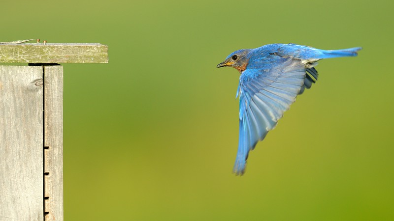 Eastern Bluebird Heading Home (1)