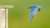 Eastern Bluebird Heading Home (1)