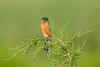 American Robin on Bending Juniper