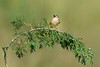 Grasshopper Sparrow: Singin' sweet songs of melodies