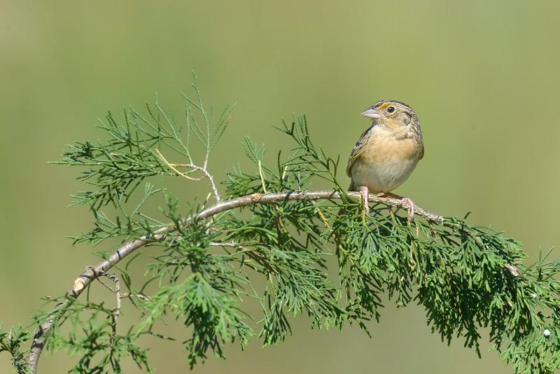 Grasshopper Sparrow on Bending Juniper