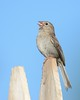 Field Sparrow on a Picket