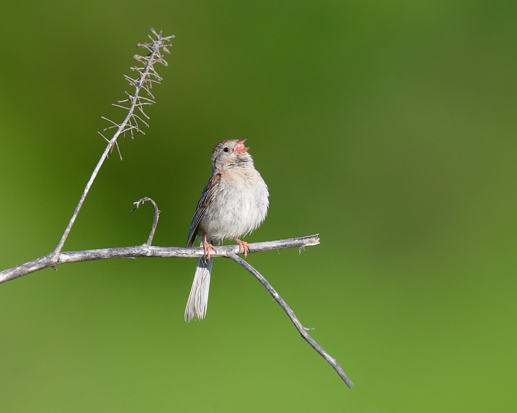 Field Sparrow...Singing' don't worry 'bout a thing