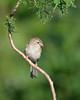 Demure Field Sparrow
