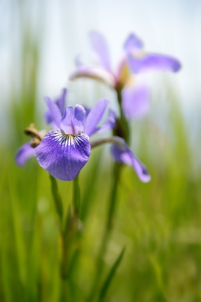 Monhegan Iris