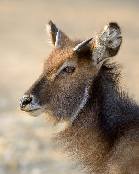 Young Water Buck
