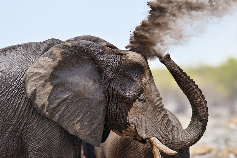 Elephant Locomotive