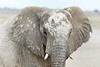 Camo Elephant