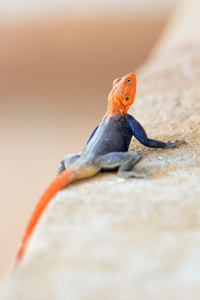 African Rainbow Lizard in Breeding Colors