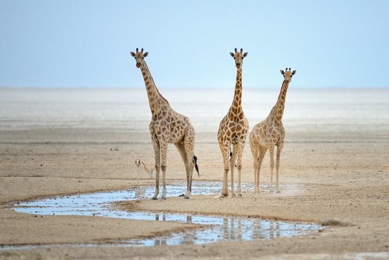 Three Giraffes at Waterhole