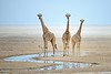 Three Giraffes at Waterhole
