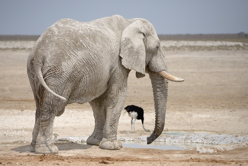 A White Elephant with Ostrich