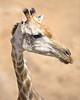 Skinny Giraffe