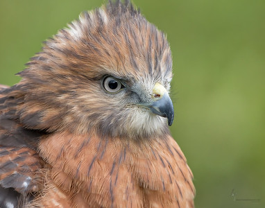 """Gavin"" Red -shouldered Hawk (captive)Medina Raptor Center, Ohio"
