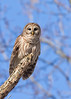 """<center><font face=""""Century Gothic"""" size=""""+1"""" color=""""#FFFFFF"""">Barred Owl<font face=""""Century Gothic"""" size=""""+1""""><center><font color=""""#377915"""">Tinkers Creek State Nature Preserve, Ohio</font></center></font></font></center>"""
