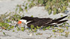"<center><font face=""Century Gothic"" size=""+1"" color=""#FFFFFF"">Black Skimmer w/baby<font face=""Century Gothic"" size=""+1""><center><font color=""#377915"">Indian Shores, Florida</font></center></font></font></center>"
