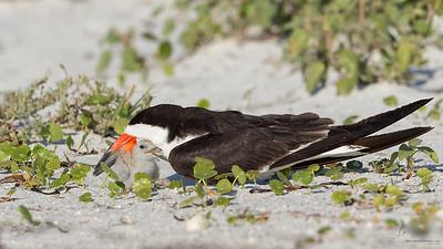 Black Skimmer w/babyIndian Shores, Florida