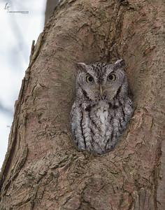 Eastern Screech Owl, Grey-MorphBrecksville Reservation, Ohio