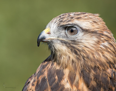 """Gavin"" Rough-legged Hawk (captive)Medina Raptor Center, Ohio"