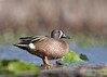 "<center><font face=""Century Gothic"" size=""+1"" color=""#FFFFFF"">Blue-winged Teal<font face=""Century Gothic"" size=""+1""><center><font color=""#377915"">Tinkers Creek State Nature Preserve, Ohio</font></center></font></font></center>"