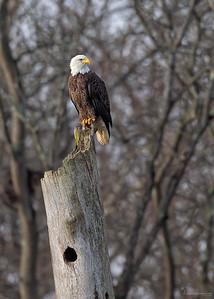Bald EagleBrecksville Reservation, Ohio