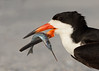 "<center><font face=""Century Gothic"" size=""+1"" color=""#FFFFFF"">Black Skimmer with Needle Fish<font face=""Century Gothic"" size=""+1""><center><font color=""#377915"">Indian Shores, Florida</font></center></font></font></center>"