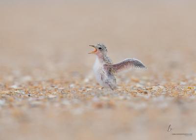 Least Tern hatchingSummer Haven, Florida