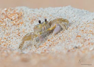Ghost CrabSummer Haven, Florida