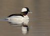 "<center><font face=""Century Gothic"" size=""+1"" color=""#FFFFFF"">Bufflehead</font></center><font face=""Century Gothic"" size=""+1"" color=""#3366FF""><center><font color=""#377915"">Tinkers Creek State Park, Ohio</font></center></font>"