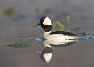 BuffleheadAurora Wetlands, Ohio