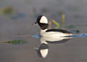 "<center><font face=""Century Gothic"" size=""+1"" color=""#FFFFFF"">Bufflehead</font></center><font face=""Century Gothic"" size=""+1"" color=""#3366FF""><center><font color=""#377915"">Aurora Wetlands, Ohio</font></center></font>"