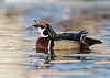"<center><font face=""Century Gothic"" size=""+1"" color=""#FFFFFF"">Wood Duck</font></center><font face=""Century Gothic"" size=""+1"" color=""#3366FF""><center><font color=""#377915"">Manchester Road Trailhead, Ohio</font></center></font>"