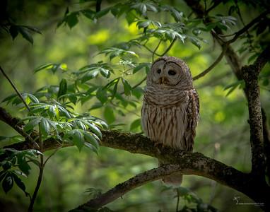 Barred OwlCuyahoga Valley National Park, Ohio