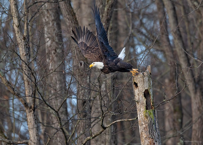 Bald EagleBrecksville Reservation, Ohio