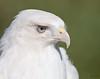 """<center><font face=""""Century Gothic"""" size=""""+1"""" color=""""#FFFFFF"""">""""Cloud"""" Leucistic Red-tailed Hawk (captive)<font face=""""Century Gothic"""" size=""""+1""""><center><font color=""""#377915"""">Medina Raptor Center, Ohio</font></center></font></font></center>"""