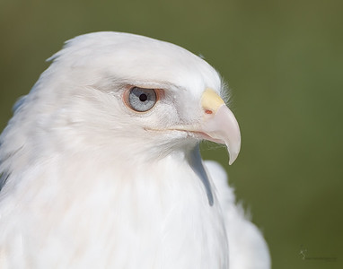 """Cloud"" Leucistic Red-tailed Hawk (captive)Medina Raptor Center, Ohio"