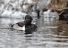 "<center><font face=""Century Gothic"" size=""+1"" color=""#FFFFFF"">Ring-necked Duck (drake)</font></center><font face=""Century Gothic"" size=""+1"" color=""#3366FF""><center><font color=""#377915"">Manchester Road Trailhead, Ohio</font></center></font>"