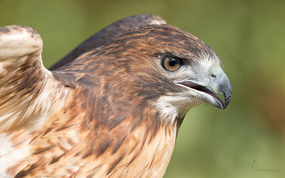 """Sky"" Red-tailed Hawk (captive)Medina Raptor Center, Ohio"