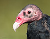 """<center><font face=""""Century Gothic"""" size=""""+1"""" color=""""#FFFFFF"""">""""Paris"""" Turkey Vulture (captive)<font face=""""Century Gothic"""" size=""""+1""""><center><font color=""""#377915"""">Medina Raptor Center, Ohio</font></center></font></font></center>"""