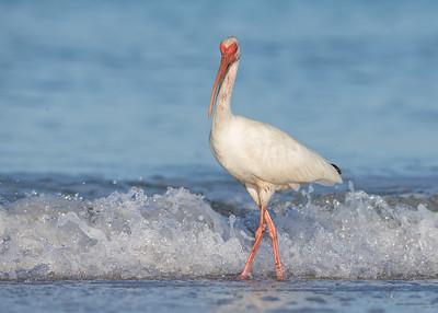 White IbisIndian Shores, Florida