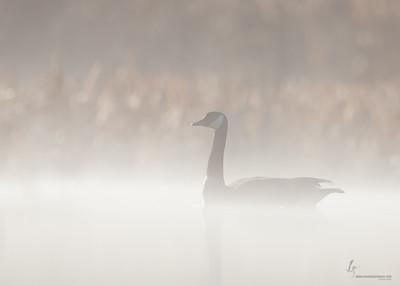 Misty Canada GooseBrecksville Reservation, Ohio