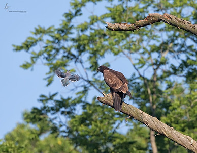 Juvenile Bald Eagle and Blue JayBrecksville Reservation, Ohio