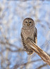 "<center><font face=""Century Gothic"" size=""+1"" color=""#FFFFFF"">Barred Owl<font face=""Century Gothic"" size=""+1""><center><font color=""#377915"">Tinkers Creek State Nature Preserve, Ohio</font></center></font></font></center>"