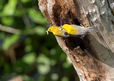 Prothonotary Warbler nestBrockville Reservation, Ohio