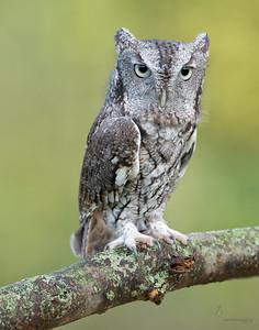 """Mischief"" Eastern-screech Owl, grey-morph (captive)Medina Raptor Center, Ohio"