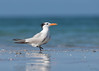 "<center><font face=""Century Gothic"" size=""+1"" color=""#FFFFFF"">Royal Tern<font face=""Century Gothic"" size=""+1""><center><font color=""#377915"">Indian Shores, Florida</font></center></font></font></center>"