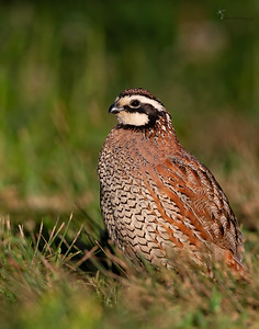 Northern BobwhiteSpringfield Bogl, Ohio