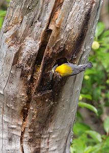 Prothonotary Warbler nestBrecksville Reservation, Ohio