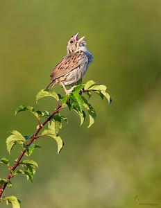 Henslow's SparrowBath Nature Preservel, Ohio